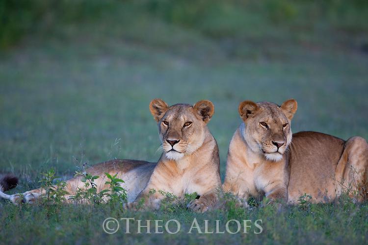 Tanzania, Ngorongoro Conservation Area, Ndutu, two lionesses resting at dusk
