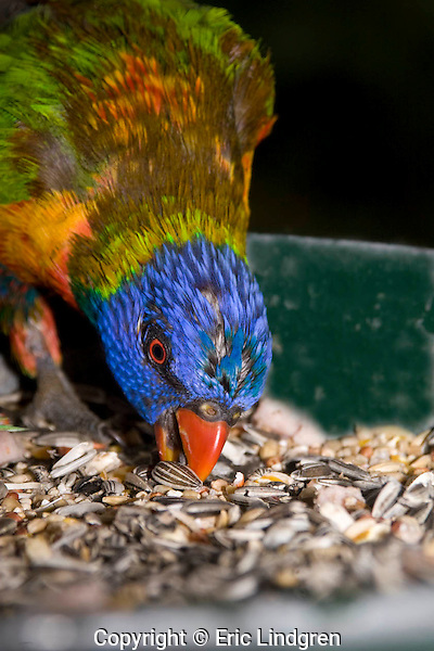 A wet Rainbow Lorikeet selects seeds at a bird feeder. Caught in heavy rain the feathers changes colour because of the differences in colour types- either pigment-related or structure-related. In this lorikeet the colour of predominantly green feathers, such as on the wings and back, comes mainly from the micro-structure of the feather barbules that interfere with light wavelengths changing one colour to another; When molecules of water in the rain fill in the micro-structures of the barbules the appearance of the green colour alters to brown. Pigment-based colours are not affected, unless they have both pigmented and structural attributes. When dry this bird will return to its normal gaudy plumage.  // Rainbow Lorikeet - Psittacidae: Trichoglossus haematodus. Length to 30cm; wingspan to 45cm; weight to 150g; Found in northern and eastern Australia from the Kimberley Region in northern Western Australia (Red-collared Lorikeet) to eastern South Australia. Occurs in forests, woodlands, heath, and rural and urban areas. Aviary-escapees are established in many towns and cities. Widespread with many subpsecies - often with a different name - from eastern Indonesia through New Guinea east to Vanuatu and New Caledonia, north to the Manus and the Admiralty Islands in Papua New Guinea (and possibly the Philippine Islands - may be a separate species. The taxonomy of the group is not yet finalised.)