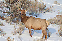 Cow elk during winter in sagebrush habitat