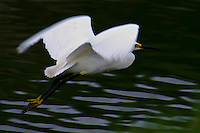 Snowy egret in flight at Hayward Regional Shoreline along San Francisco Bay.
