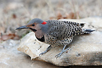 Northern Flickers are large, brown woodpeckers with a gentle expression and handsome black-scalloped plumage.