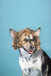 Mixed breed dog wearing a wig in the studio Shopping cart has 3 Tabs:<br /> <br /> 1) Rights-Managed downloads for Commercial Use<br /> <br /> 2) Print sizes from wallet to 20x30<br /> <br /> 3) Merchandise items like T-shirts and refrigerator magnets