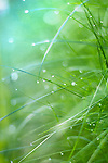 Wet Grass leaves in morning light
