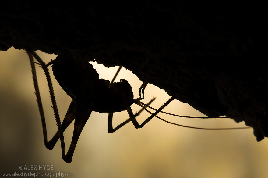 Cave Cricket male (Troglophile neglectus) on the side of a stalactite in a limestone cave. Plitvice Lakes National Park, Croatia. November.