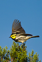 591850045v a wild federally endangered male golden-cheeked warbler setophaga chrysoparia - was dendroica chrysoparia - flaps his wings while perched in a fir tree on los madrones ranch near austin travis county texas