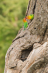 Two tiny lovebirds seemingly kiss while perched on a tree in the Ngorongoro Conservation Area in Tanzania, Africa.