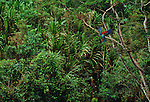Green-winged macaw, Tambopata River region, Peru