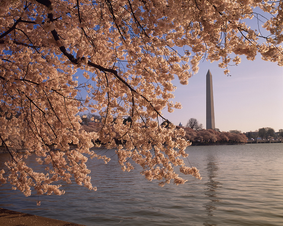 Cherry Blossoms, Tidal Basin, Washington Monument, West Potomac Park, Washington D.C., District of Columbia