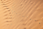 Bird (hoopoe lark) tracks in desert sand, in the Sahara desert of Morocco.