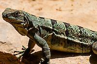 Lizard, Xcaret Park (Eco-archaeological Theme park), Riviera Maya, Quintana Roo, Mexico