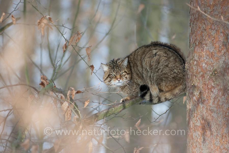 Wildkatze sitzt auf einem Ast, Baum, Wild-Katze, Katze, Felis silvestris, wild cat