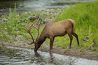 Bull elk during summer with antlers in velvet