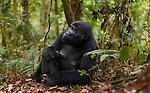 Mountain gorilla and juvenile, Volcanoes National Park, Rwanda