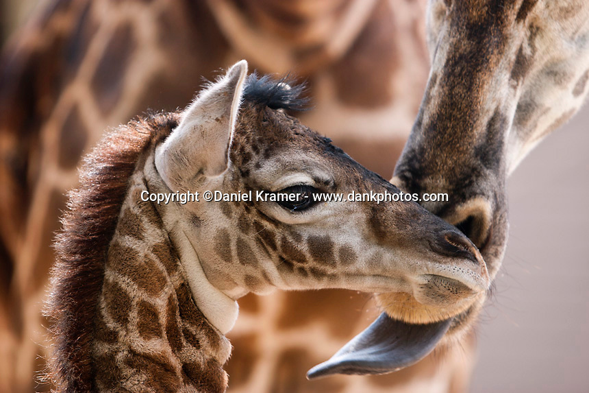 The Houston Zoo welcomes the arrival of a new baby giraffe to mother Tyra in 2006.
