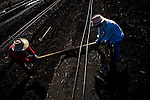 Farmworkers install drip irrigation for new blueberry fields on Empire Tract, October 29, 2009.