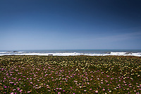Blue sky over a field covered in ice plant with purple, pink and yellow flowers.  On the horizon waves roll to shore and a bench invites visitors to stop and enjoy the view.