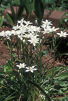 Allium neapolitanum aka A. cowanii, Naples Garlic, Daffodil Garlic, False Garlic, Flowering Onion, Naples Onion, Guernsey Star-of-Bethlehem, Neapolitan Garlic