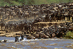 Wildebeest herd fording the Mara River, Masai Mara National Reserve, Kenya