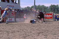 Bull charging Cowboy after falling off Bull in Bull Riding Event, at the Cloverdale Rodeo, British Columbia, Surrey, Canada