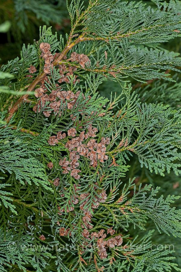 Lawsons-Scheinzypresse, Lawsons Scheinzypresse, Zypresse, Chamaecyparis lawsoniana, Lawson´s Cypress, Lawson Cypress