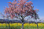 Mustard in the Spring, Napa Valley, California
