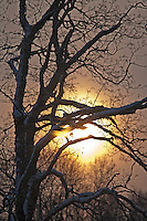 Backlit Snowy Tree Branches at Sunrise