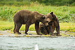 Costal brown bears nuzzle each other along the creekside in Katmai National Park.