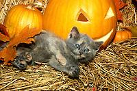 Fluffy tortoiseshell kitten rolls in hay near jack 0 lantern