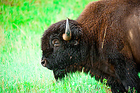 American Bison (buffalo), Custer State Park, Black Hills, South Dakota USA