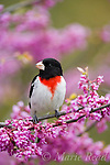 Rose-breasted Grosbeak (Pheucticus ludovicianus) male in breeding plumage, perched in flowering Eastern Redbud, New York State, USA
