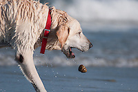 This Labrador Retriever was a retriever of rocks at Scarborough Beach State Park in Maine.