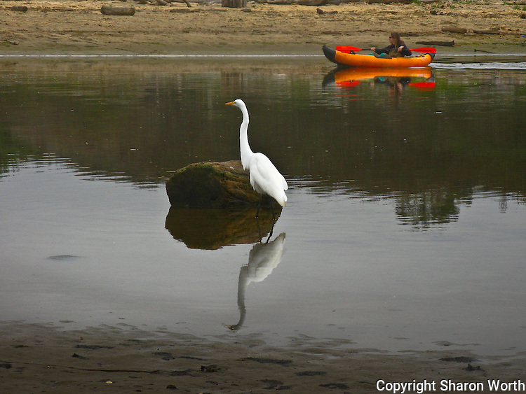 A great egret keeps a watchful eye, and a safe distance, while a state fish and game employee surveys the lagoon at Pomponio State Beach in California.