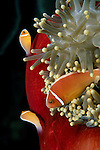 Milne Bay, Papua New Guinea; Pink Anemonefish (Amphiprion perideraion), to 10 cm (4 in.), live in 4 anemone species but most commonly with the Magnificent Anemone on reefs in 3-20 meters, found in Indonesia to Marshall Islands, E. Micronesia, S.W. Japan to N.W. Australia and New Caledonia , Copyright © Matthew Meier, matthewmeierphoto.com All Rights Reserved