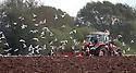2012_09_30_gulls_ploughing