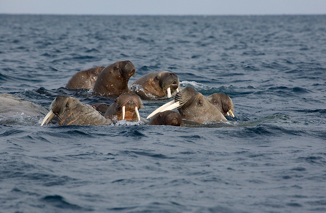 Walrus mothers and calves of varying ages swimming. Svalbard. Norway