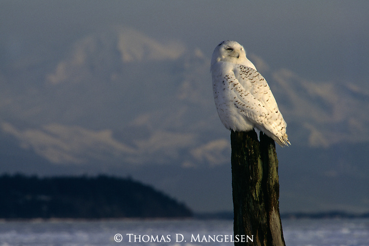 Snowy Owl perched on a stump.