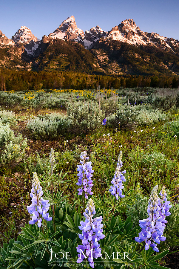 Lupine flowers in front of the Teton Range in Grand Teton National Park.