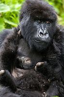 A mother gorilla looks exhausted as her infant tries to wrestle with her in the jungle of Rwanda's Virunga Mountains. Young gorillas are known for their playful behavior, often somersaulting over the adults' bodies and wrestling with each other. This playful behavior teaches young gorillas how to interact within the group and adult gorillas encourage their play.
