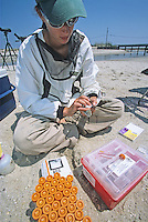 Wildlife Biologist, drawing blood from a Red Knot, Fortesque Beach, New Jersey