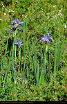 Rocky Mountain Iris, Iris missouriensis, Ski Meadow, Pajarito Mountain, Los Alamos, New Mexico