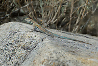 442000009 a wild nevada side-blotched lizard uta stansburiana nevadensis suns on a white rock in southern inyo county california