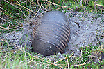 An armadillo digs a small hole looking for dinner.  The nine bands are clearly visible.