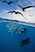 TK0455-D. Atlantic Sailfish (Istiophorus albicans) feeding on Spanish sardines (Sardinella aurita), split view over under image with frigate birds (Fregata sp.) hovering above, eager to feast on the bait. Gulf of Mexico, Mexico, Caribbean Sea.<br /> Photo Copyright &copy; Brandon Cole. All rights reserved worldwide.  www.brandoncole.com