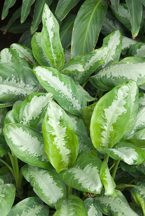 Houseplant Aglaonema 'Pattaya Beauty'