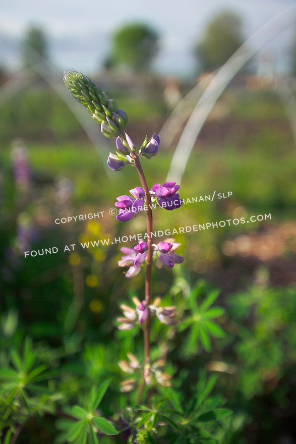 A shallow focus shot of a single, spiky purple flowered stem of lupine, Lupinus, glowing in the late afternoon light in a public park in Seattle.