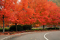 WA08852-00...WASHINGTON - Autumn along a maple tree lined road at Coulon Memorial Park located at the south end of Lake Washington in Renton.