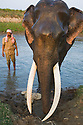 India, Kaziranga National Park, Mahout giving Indian working elephant (Elephas maximus indicus) a bath; this animal is used for carrying tourists and patrolling wildlife in Kaziranga National Park