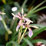 Iris foetidissima