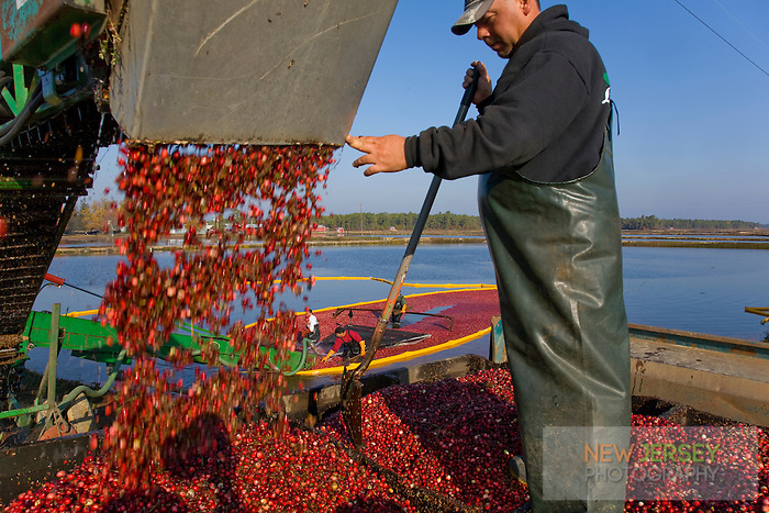 Fall Cranberry Harvest, New Jersey