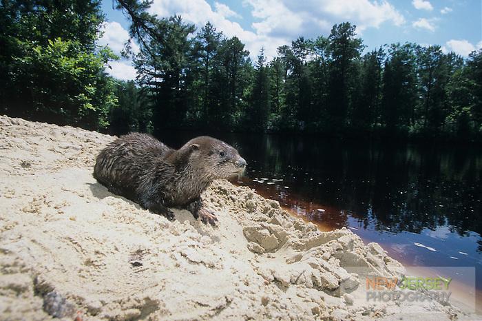 River Otter, Pine Barrens, New Jersey